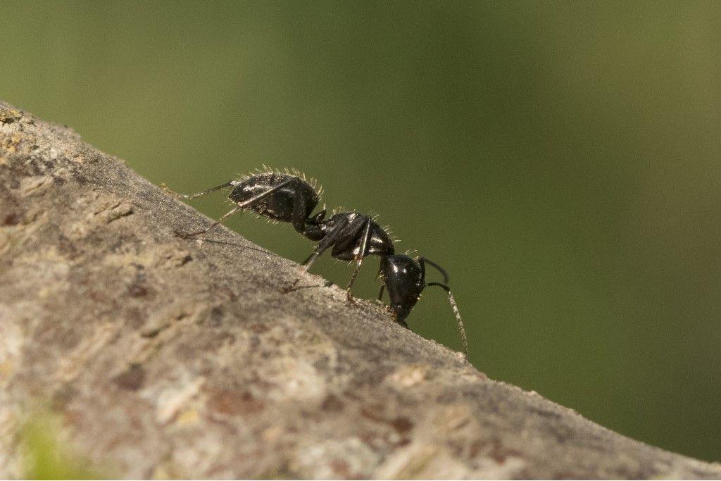 Camponotus vagus ?