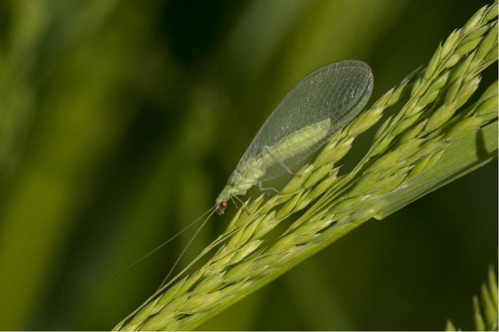 Chrysopidae da identificare