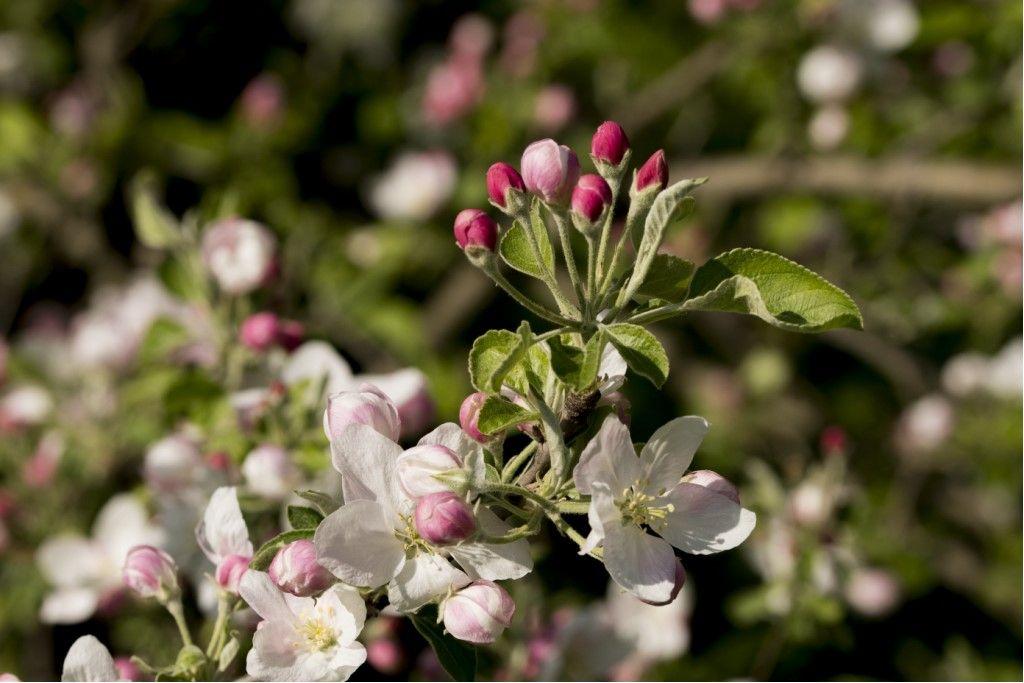 Rosaceae: Malus sp.