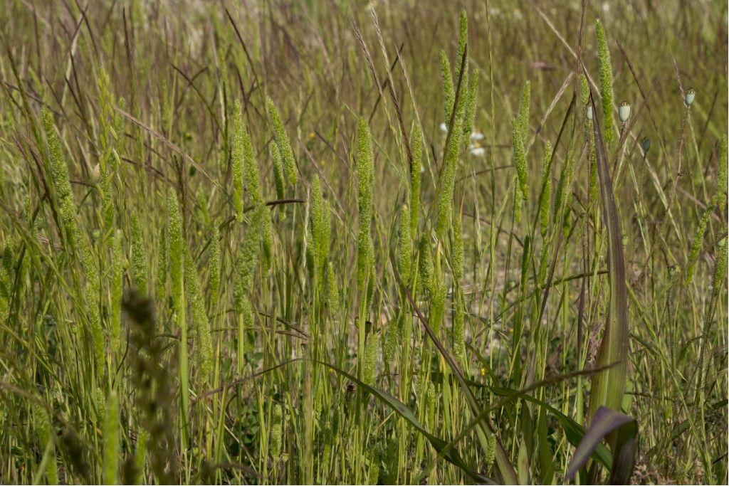 Phleum sp. (Poaceae) da confermare
