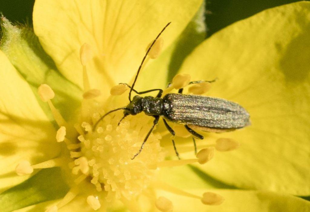 Oedemeridae: cfr. Anogcodes sp ? No, cfr. Oedemera gr. lurida