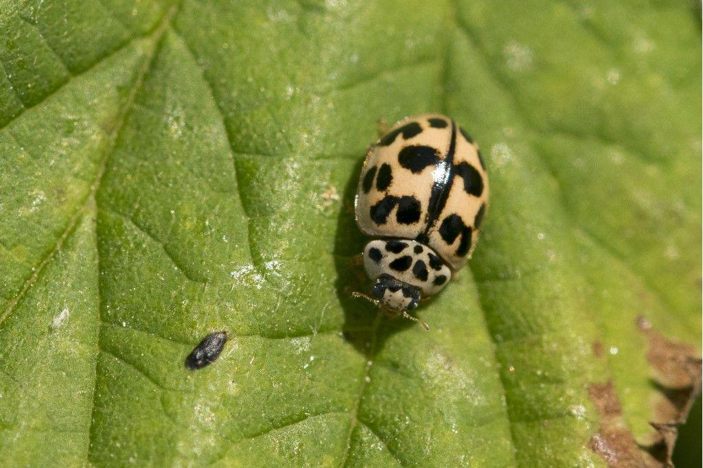 Propylea quatuordecimpunctata? No, Oenopia conglobata
