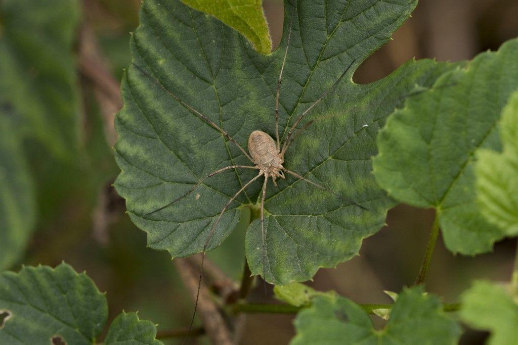 Phalangium opilio ♀ - Phalangiidae