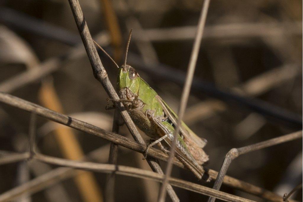 Orthoptera da determinare