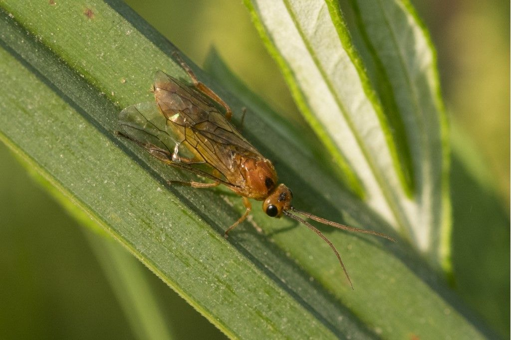 Hymenoptera, Tenthredinidae: cfr. Hemichroa crocea