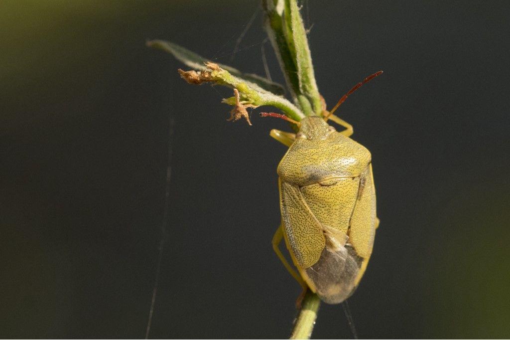 Pentatomidae: Piezodorus lituratus f. alliacea