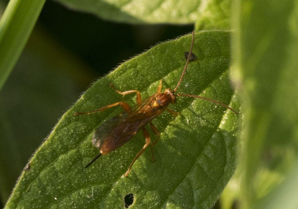 Hymenoptera da determinare.