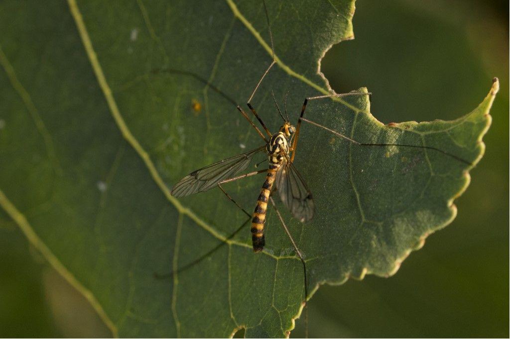 Tipulidae: Nephrotoma cfr. scalaris, maschio