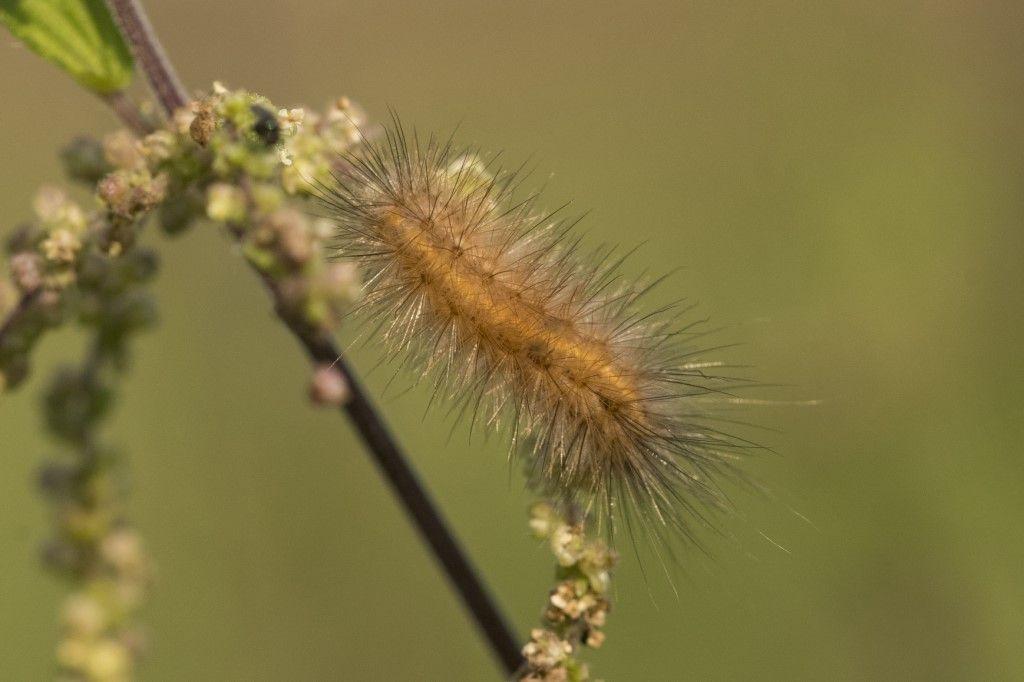 Bruco di ... Erebidae Arctiinae (Phragmatobia fuliginosa o Spilosoma lubricipeda)