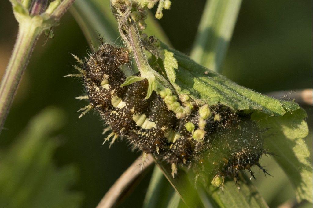 Bruco di Vanessa atalanta - Nymphalidae