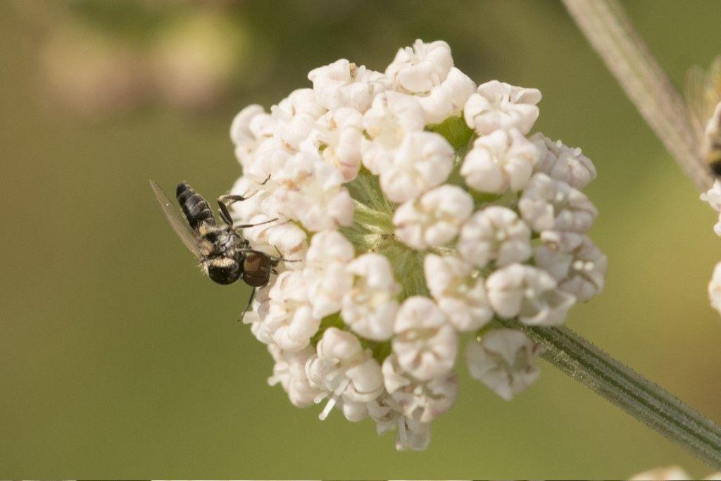 Simuliidae: Simulium sp., maschio