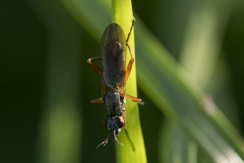Sciomyzidae: Sepedon cfr. sphegea