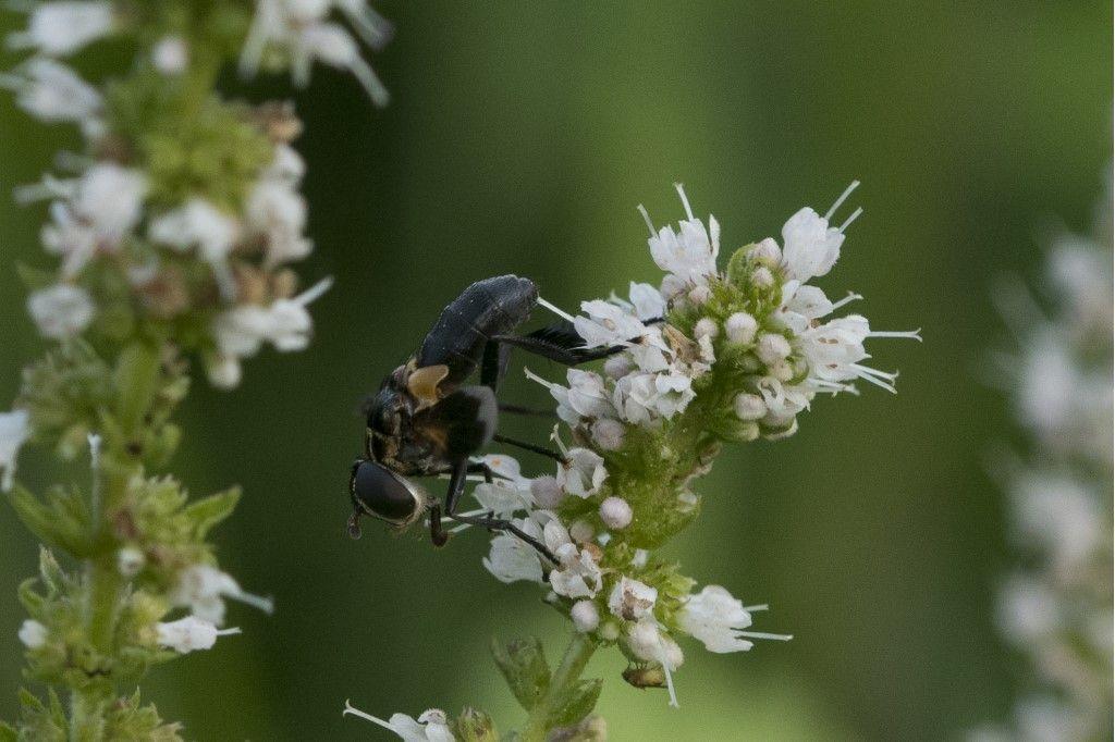 Trichopoda pennipes (Tachinidae)