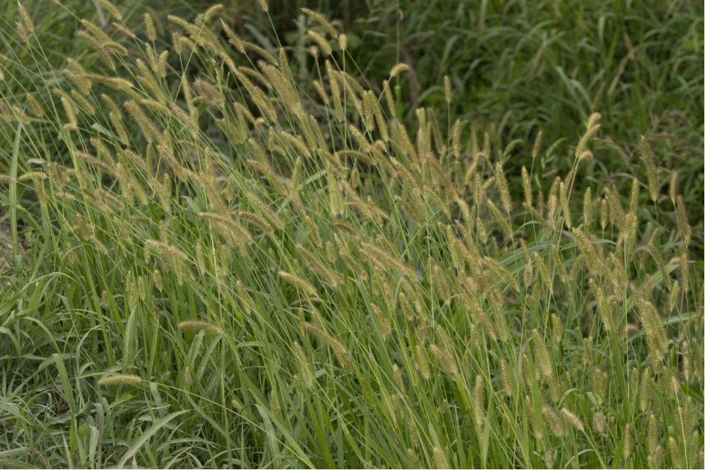 Poaceae: cfr. Phleum pratense