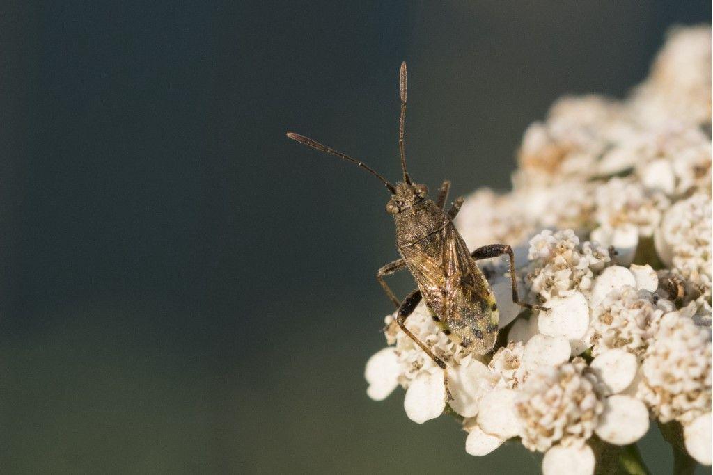 Rhopalidae?  Sì, Stictopleurus cfr. punctatonervosus