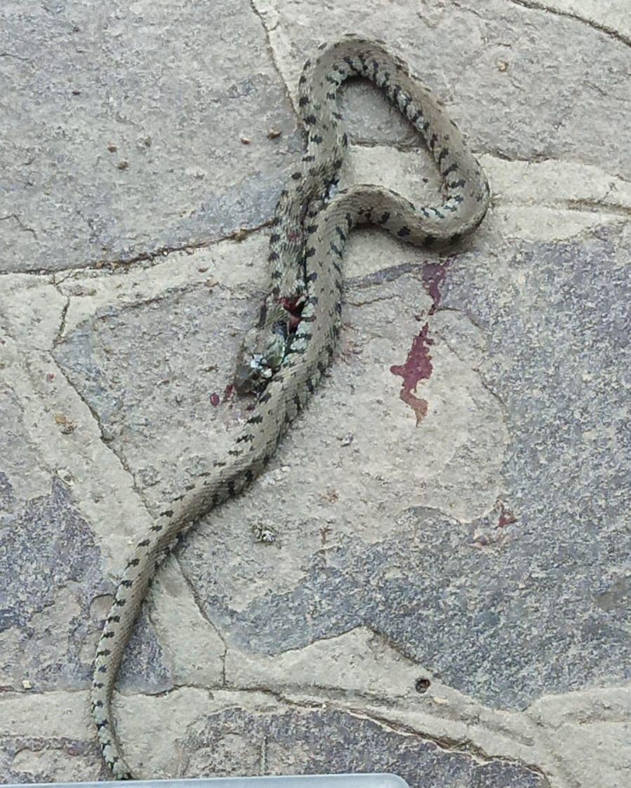 Natrix helvetica