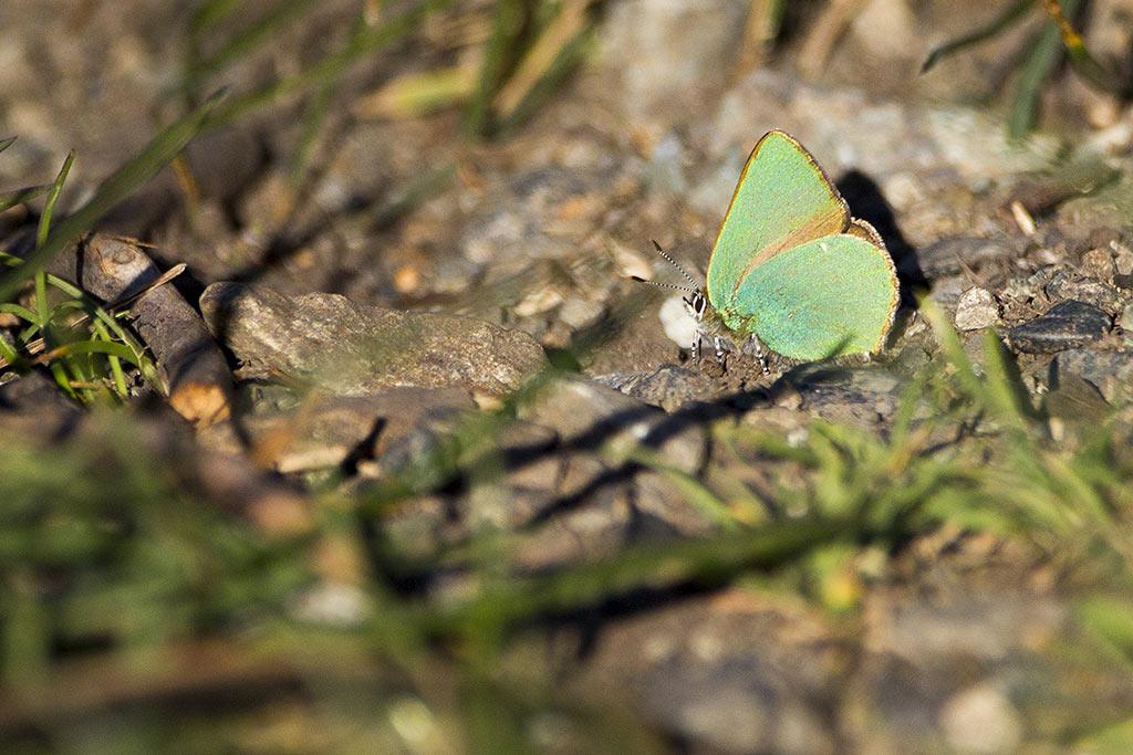 Callophrys rubi - Lycaenidae