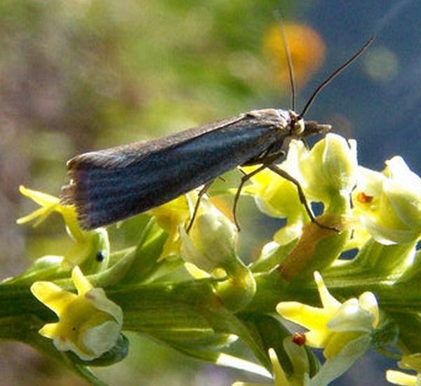 Crambidae chrysoteuchia culmella forum natura for Sinonimo di immaginare