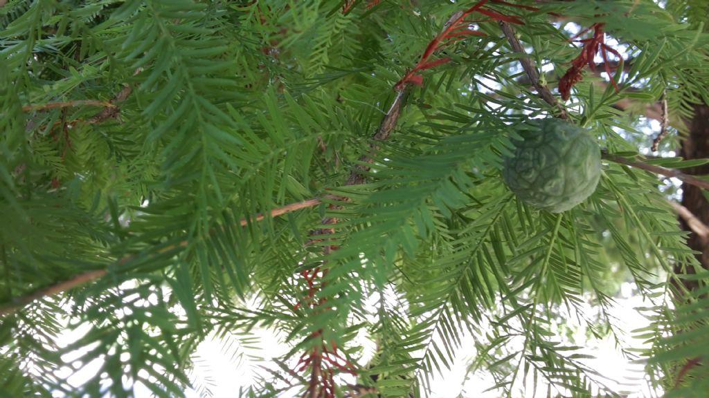 Taxodium distichum (Cupressaceae)