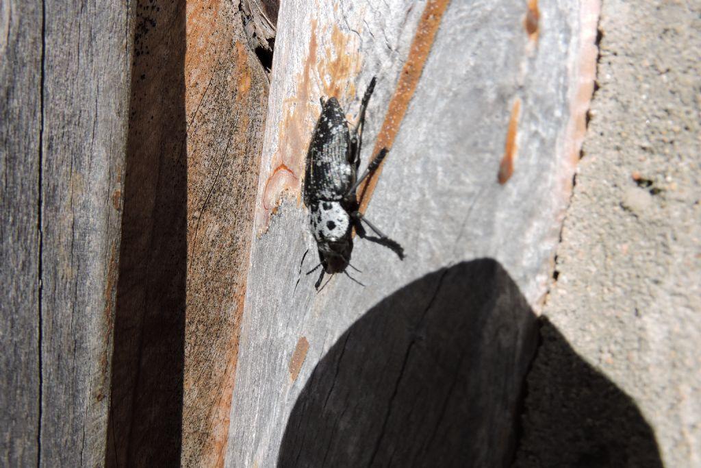 che insetto? Capnodis cariosa, Buprestidae