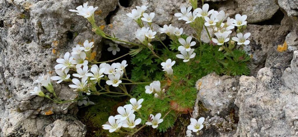 Saxifraga pedemontana subsp.cervicornis / S.sardo-corsa