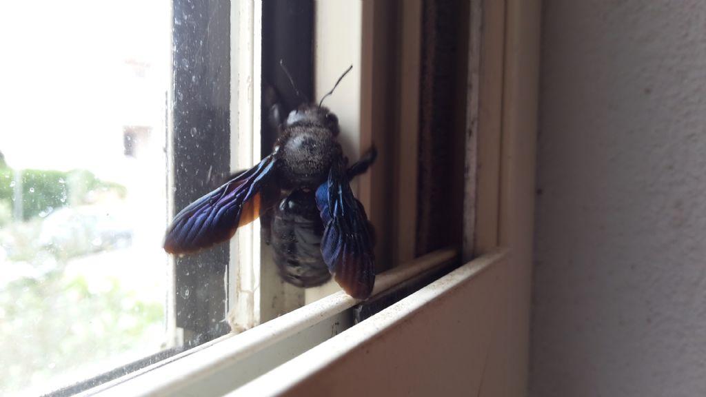 calabrone? No, Apidae, Xilocopa violacea
