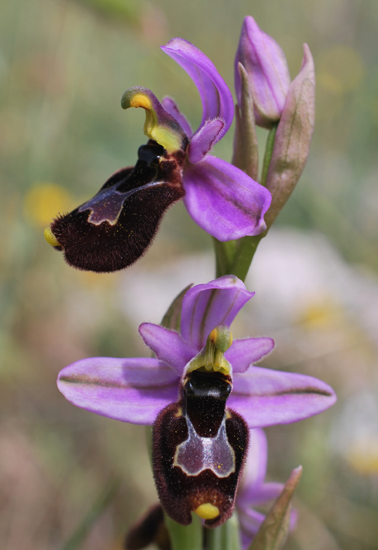 Ophrys bertolonii x Ophrys tenthedinifera neglecta