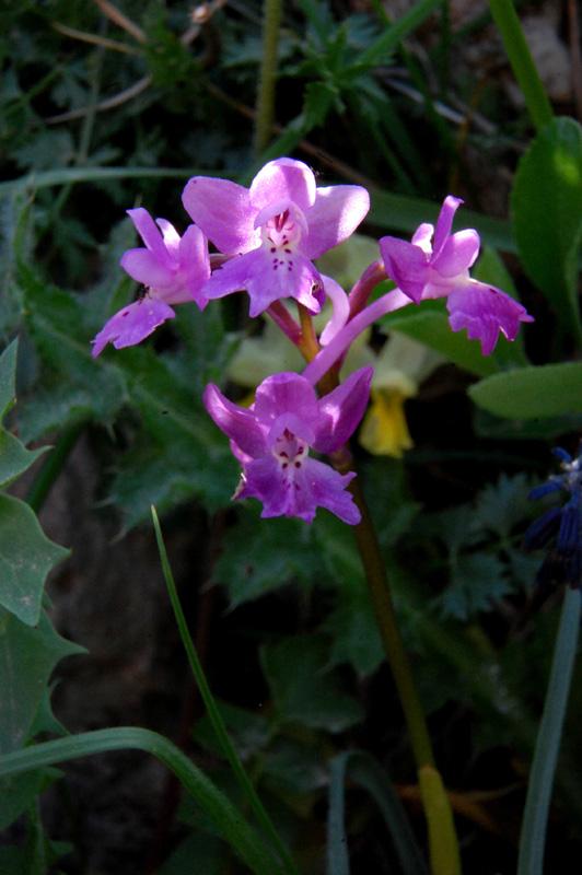 Orchis pauciflora x Orchis quadripunctata