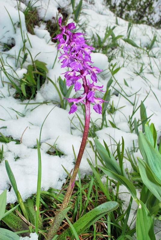 Orchis mascula con foglie maculate?
