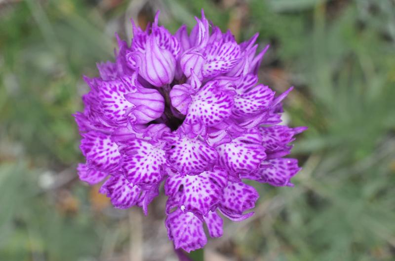 Tre giorni in Abruzzo per orchidee e altro