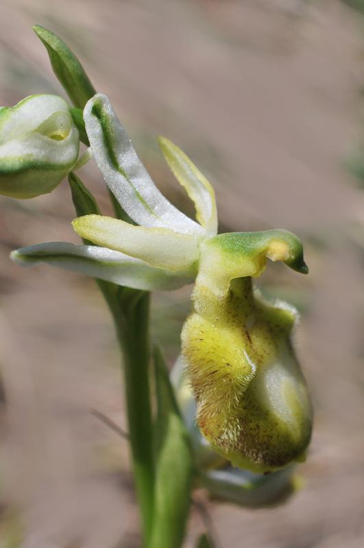Ophrys bertolonii subsp. benacensis apocromatica