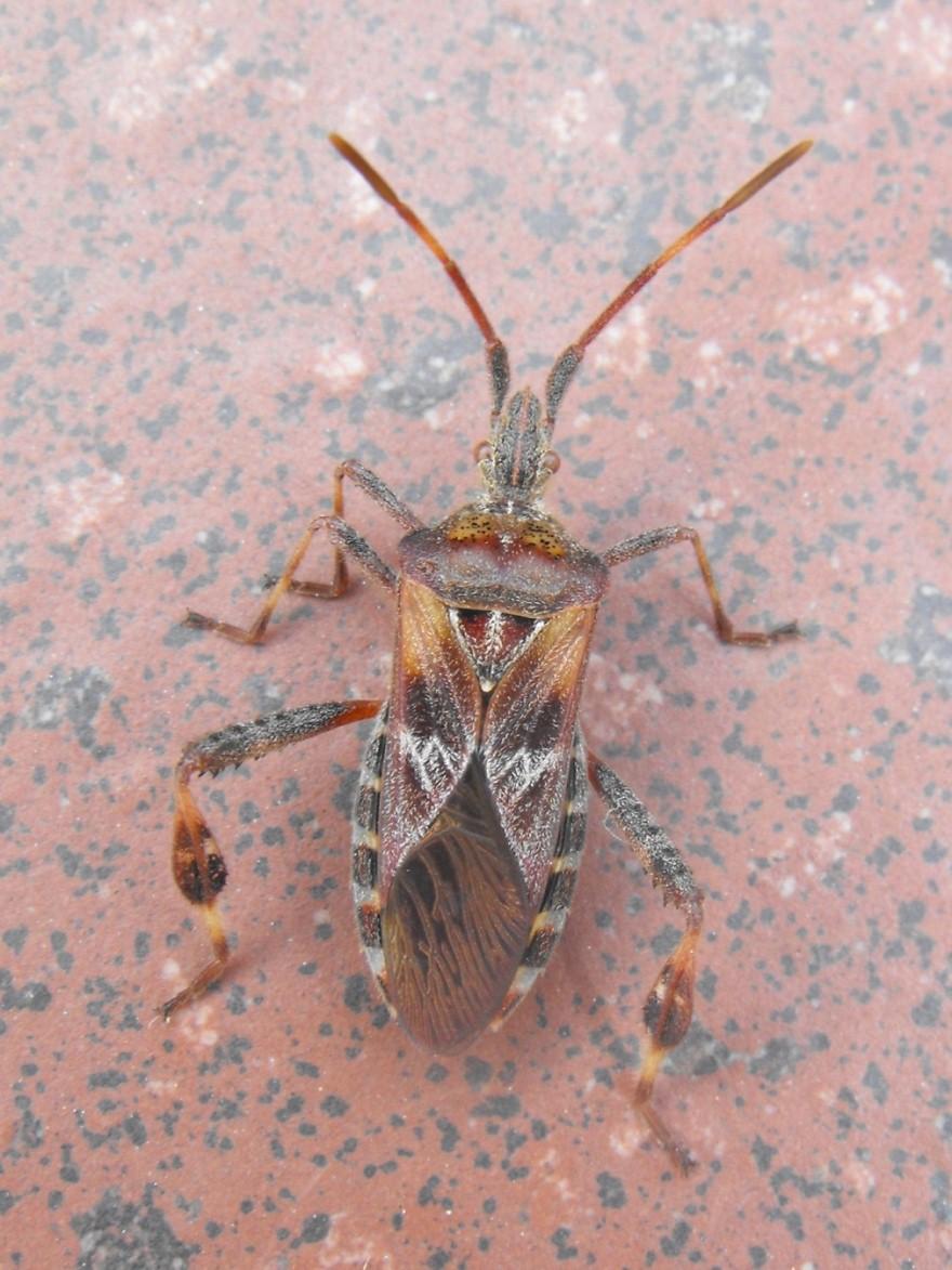 Coreidae: Leptoglossus occidentalis della Liguria (GE)