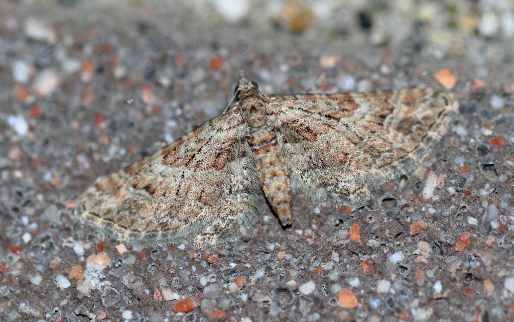 Gymnoscelis rufifasciata (Geometridae)