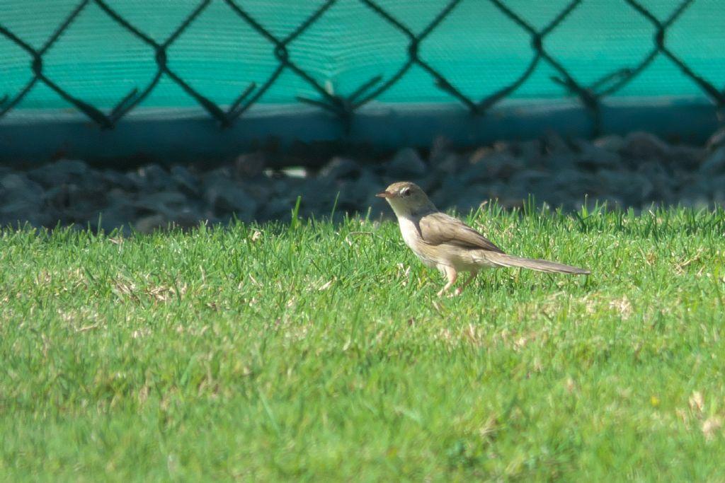 Dal Dubai: Prinia gracile (Prinia gracilis)