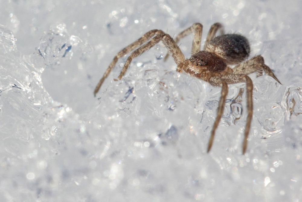 Passeggiata sulla neve: ragni di varie specie