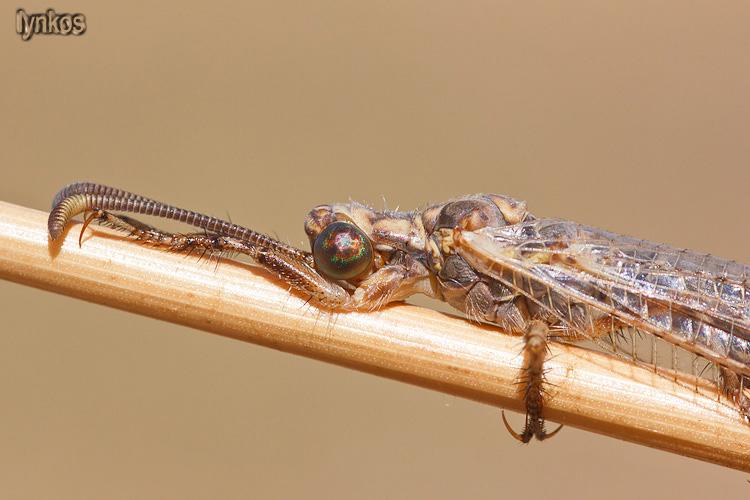 Myrmeleontidae nell''aquilano: Creoleon cfr. plumbeus