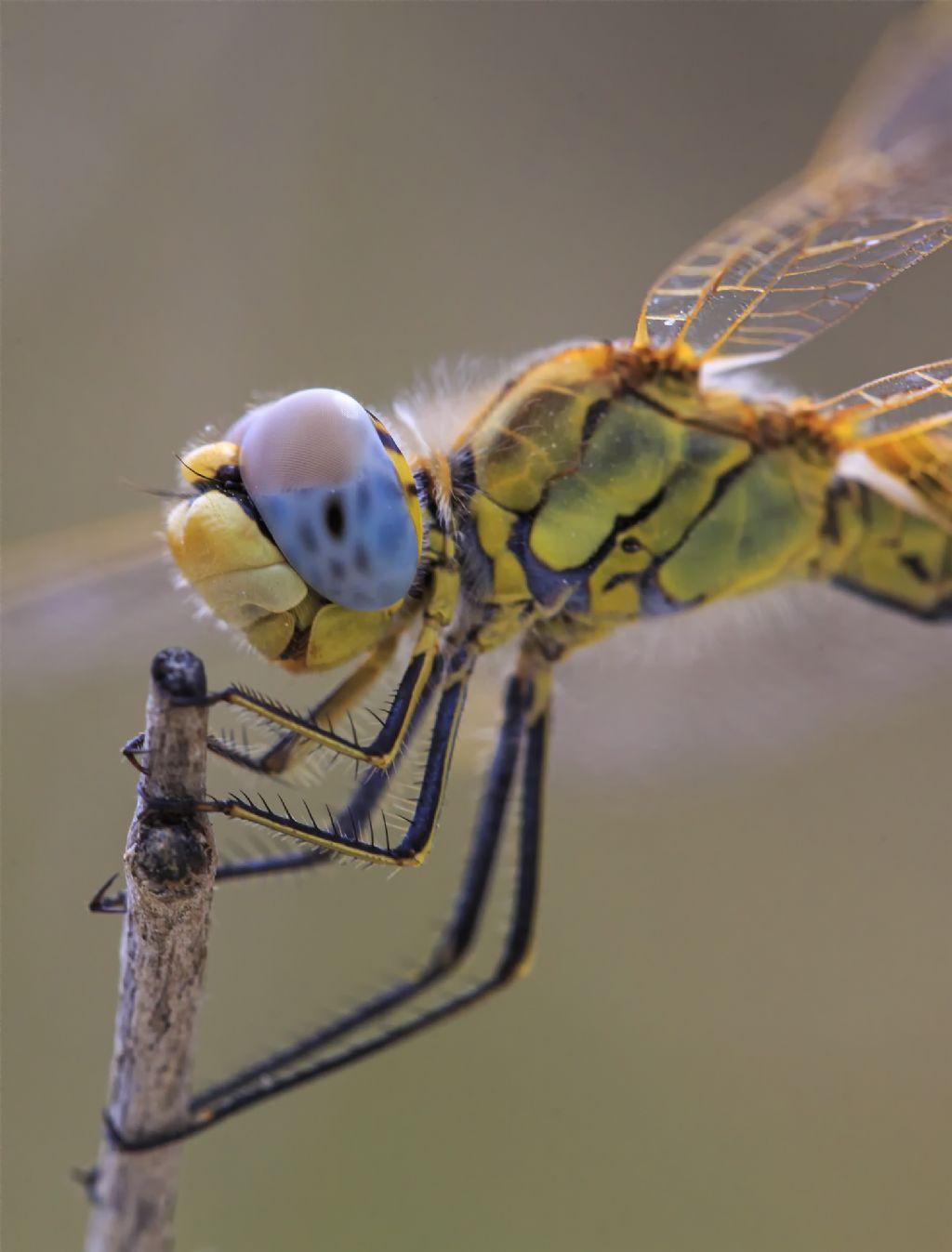 Riconoscimento Odonata