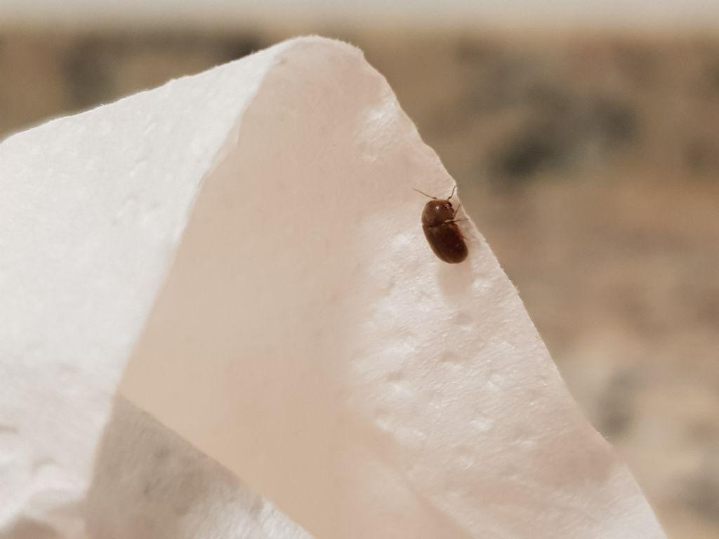Insetti in cucina lasioderma sp anobiidae forum natura