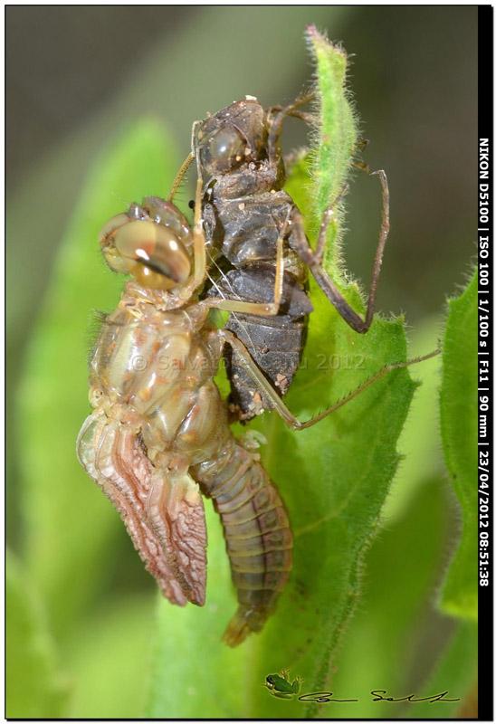 Scheda: Crocothemis erythraea