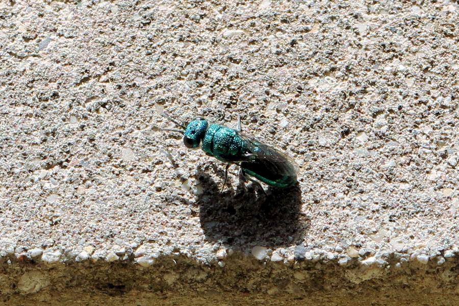 Chrysididae da id.