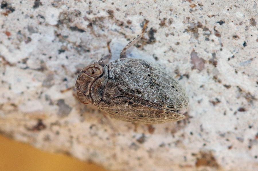 Fulgoromorpha Issidae: cfr. Latilica sp.