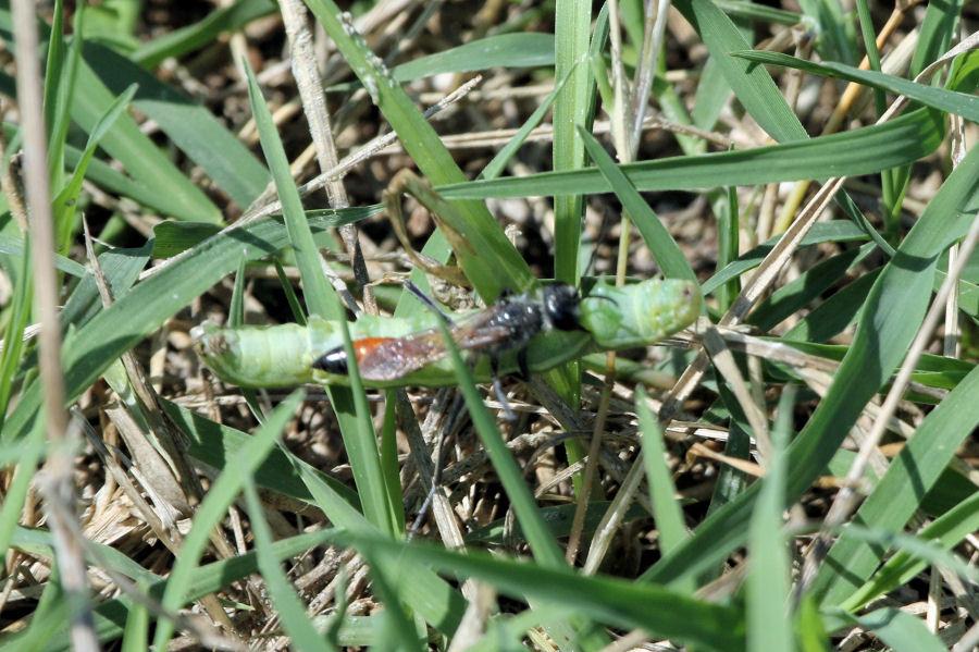 Sphecidae con bruco: Podalonia aff. tydei.