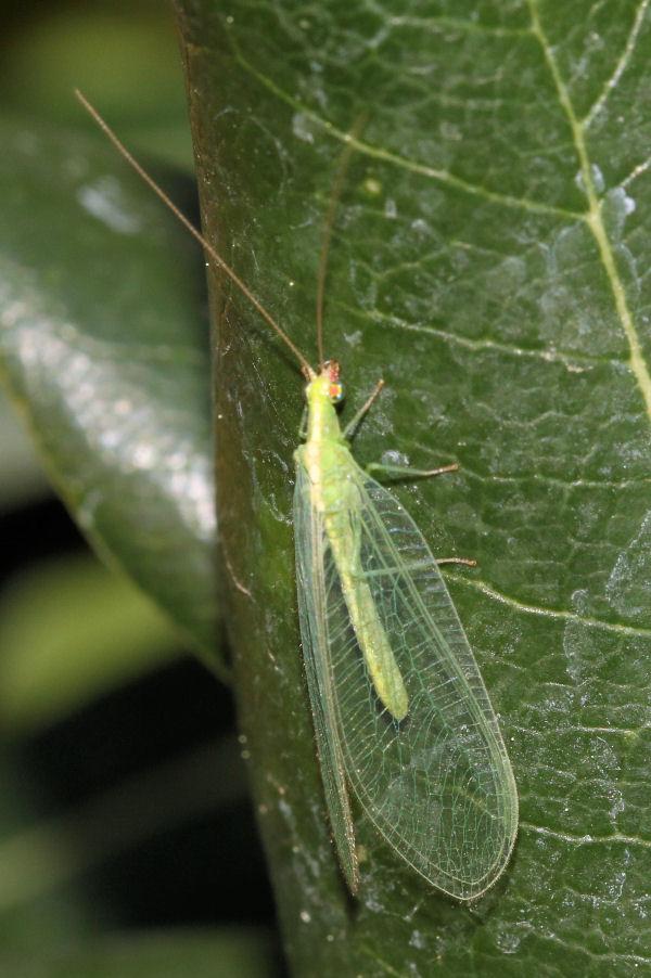Chrysopidae: Chrysoperla sp.?   Sì, Chrysoperla cfr. lucasina