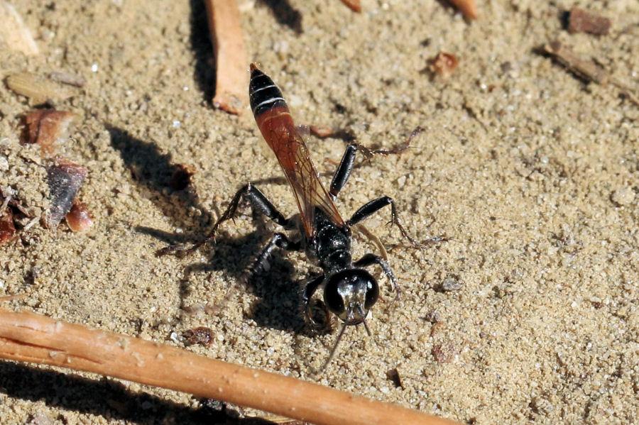 Sphecidae: Prionyx kirbii? No, Prionyx lividocinctus