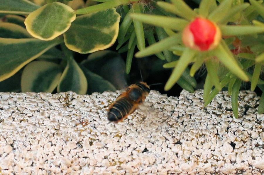 Megachile nidificante nel terreno
