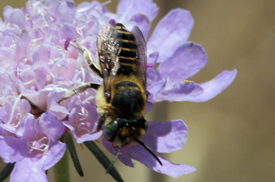 Crabronidae? No, Apidae Megachilinae: Megachile sp.