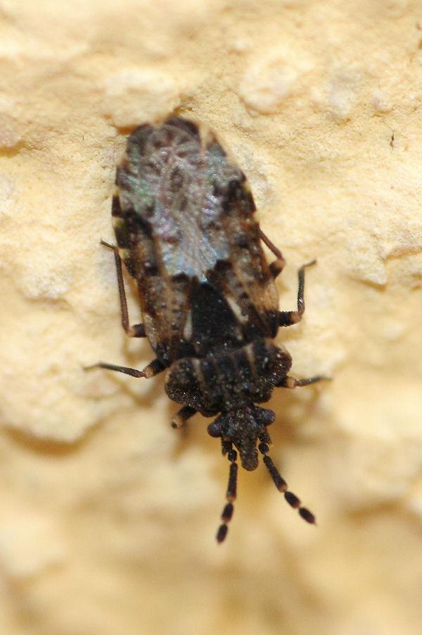 Aradidae: Aradus bimaculatus NUOVO PER L''ITALIA