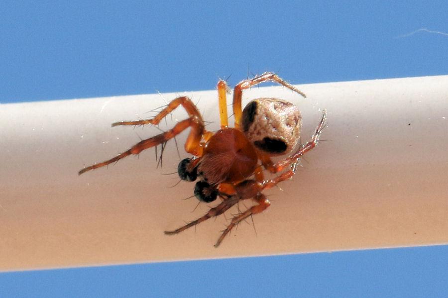Araneidae: Araneus sturmi maschio?