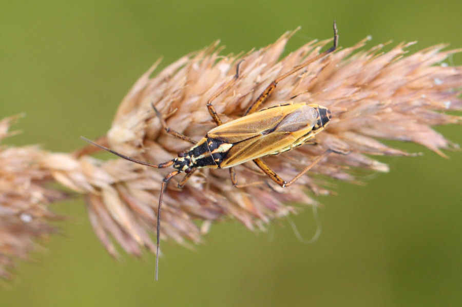 Miridae: Leptopterna dolabrata? Sì !
