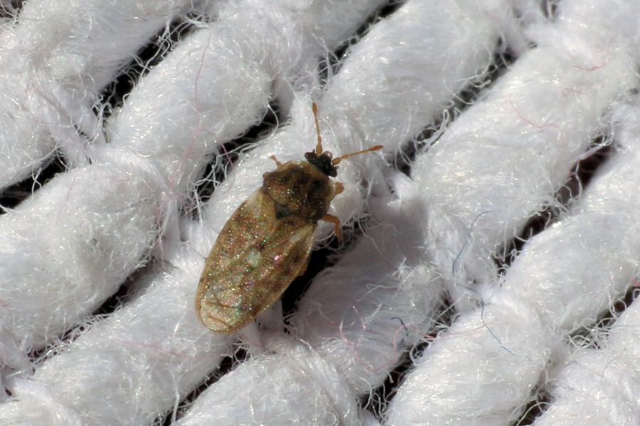 Piesmatidae: Piesma maculatum? Sì !